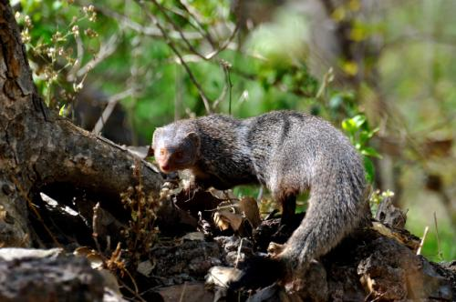 The Indian gray mongoose